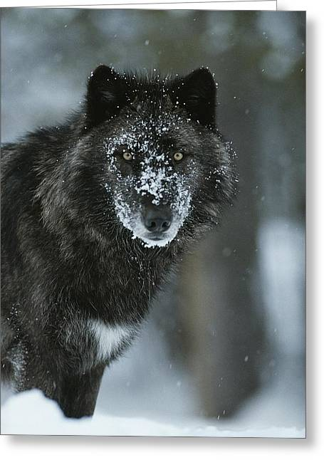 Wolf Creek Greeting Cards - A Gray Wolf, Canis Lupus, Stops Greeting Card by Jim And Jamie Dutcher