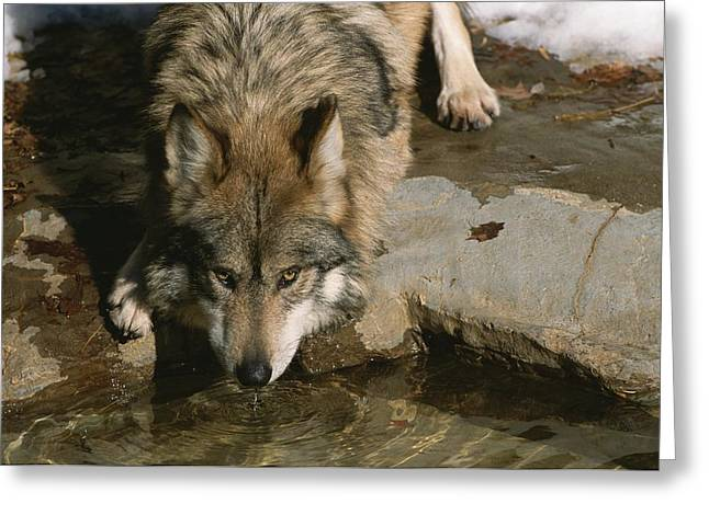 Park Scene Greeting Cards - A gray wolf drinks water Greeting Card by Taylor S. Kennedy