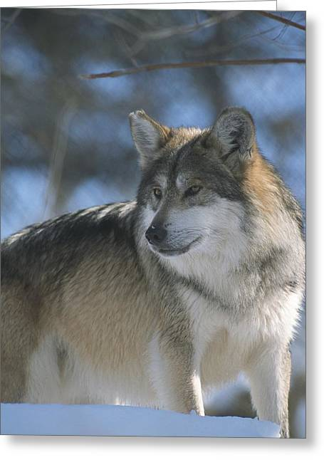 Park Scene Greeting Cards - A gray wolf on a sunny Greeting Card by Taylor S. Kennedy