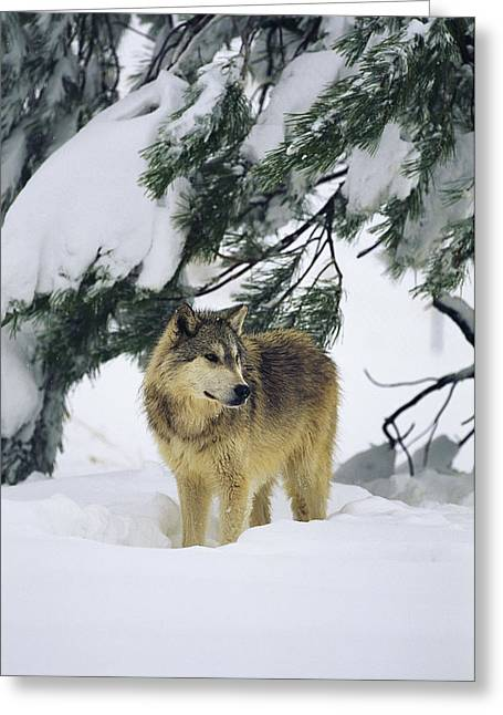 A Gray Wolf Stands Under Greeting Card by Norbert Rosing