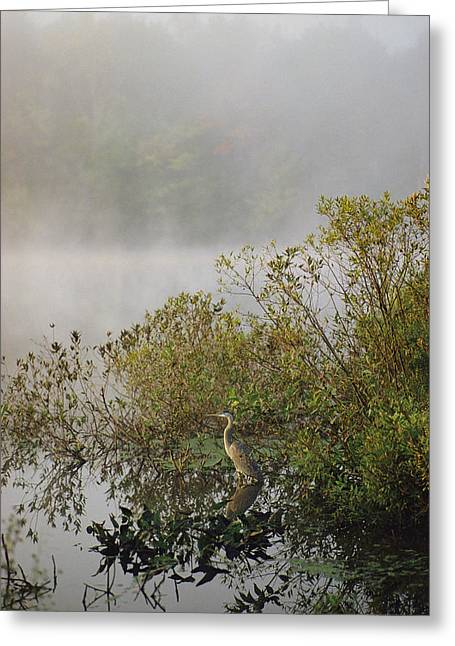 Hebron Greeting Cards - A Great Blue Heron Ardea Herodias Waits Greeting Card by Sam Abell