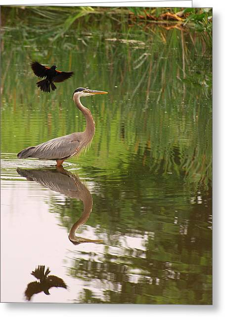 Flying Animal Greeting Cards - A Great Blue Heron In A Pond Is Mobbed Greeting Card by Darlyne A. Murawski