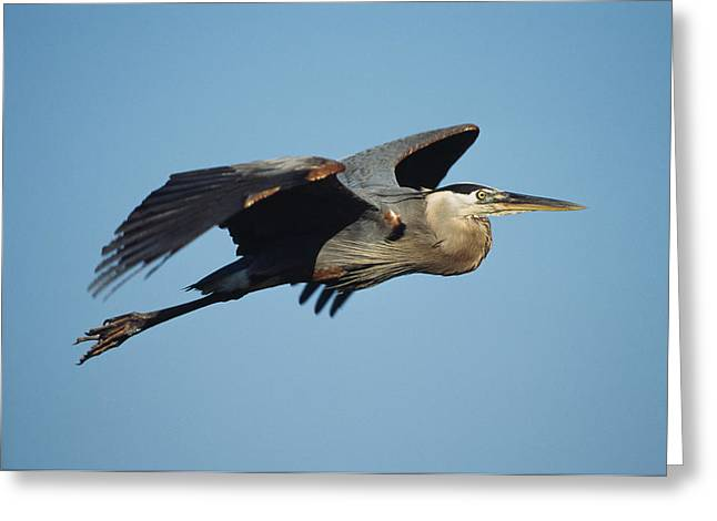 Ardea Greeting Cards - A Great Blue Heron In Flight Greeting Card by Klaus Nigge