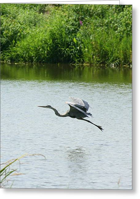 Neal Eslinger Photography Greeting Cards - A Great Blue Heron Landing Greeting Card by Neal  Eslinger