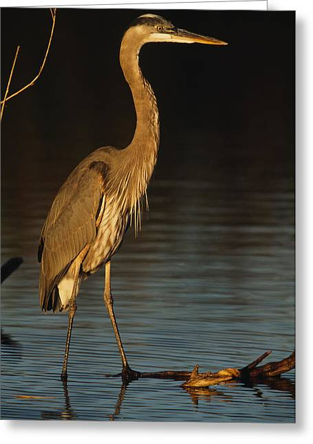 Ardea Greeting Cards - A Great Blue Heron Wades In A Coastal Greeting Card by Klaus Nigge