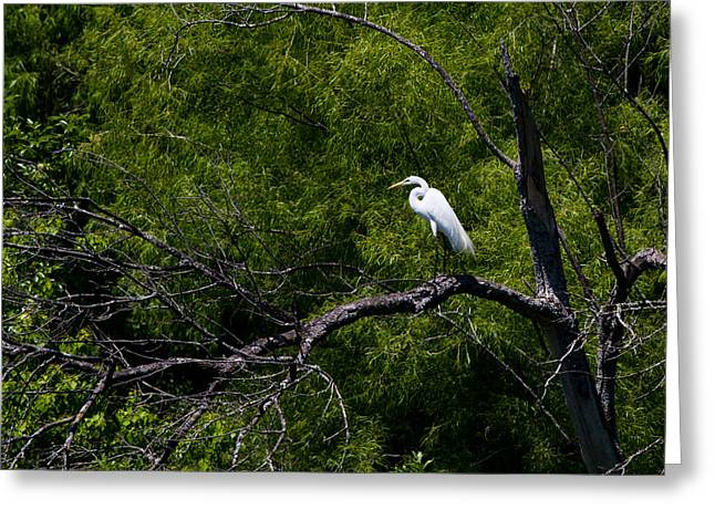 White Bird Greeting Cards - A Great Egret in a green forest Greeting Card by Ellie Teramoto