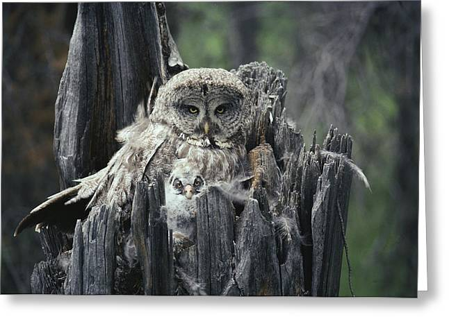 A Great Gray Owl And Owlet Greeting Card by Michael S. Quinton