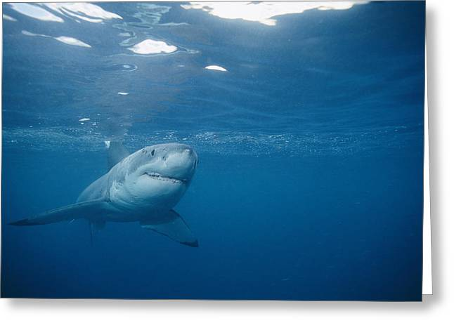 White Shark Greeting Cards - A Great White Shark Carcharodon Greeting Card by Brian J. Skerry