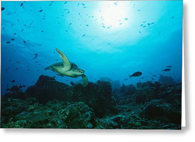 Rare Fish Greeting Cards - A Green Sea Turtle Swimming Over A Reef Greeting Card by Tim Laman