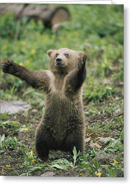 British Columbia Greeting Cards - A Grizzly Bear Cub Ursus Arctos Greeting Card by Tom Murphy