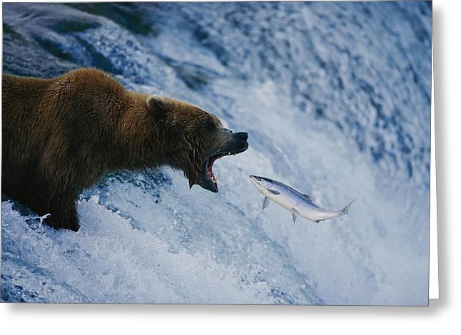 Parks And Wildlife Greeting Cards - A Grizzly Bear Opens Wide For A Mouth Greeting Card by Joel Sartore