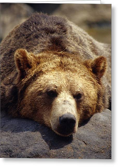 Bronx Greeting Cards - A Grizzly Bear Rests His Huge Head Greeting Card by Jason Edwards