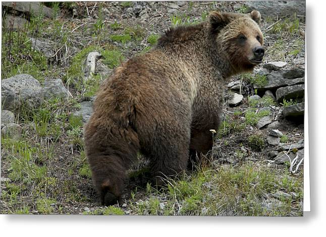 American Brown Bear Greeting Cards - A Grizzly Bear Walking Away. Ursus Greeting Card by Robbie George