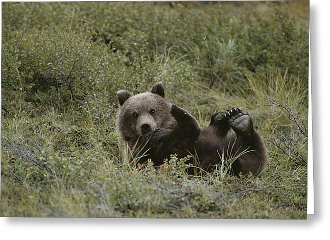 Roost Photographs Greeting Cards - A Grizzly Lounges In A Humorous Greeting Card by Michael S. Quinton