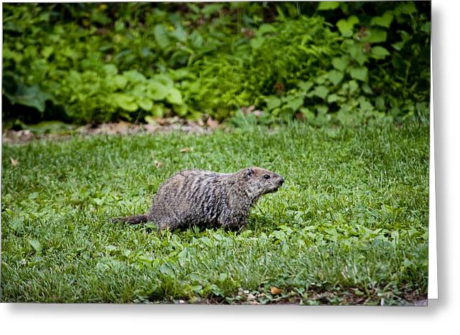 A Groundhog Marmota Monax Enjoys A Meal Greeting Card by Stephen St. John