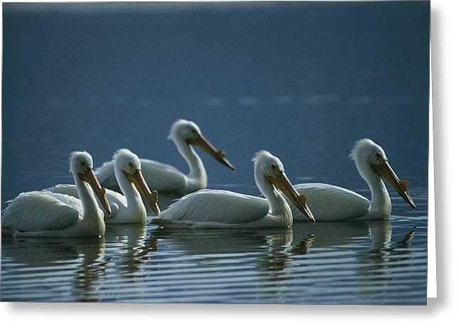 American White Pelican (pelecanus Erythrorhynchos) Greeting Cards - A Group Of American White Pelicans Greeting Card by Michael S. Quinton