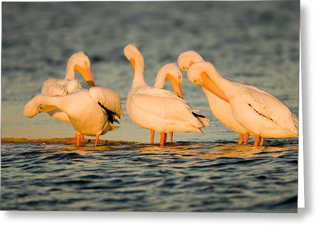 American White Pelican (pelecanus Erythrorhynchos) Greeting Cards - A Group Of American White Pelicans Greeting Card by Tim Laman