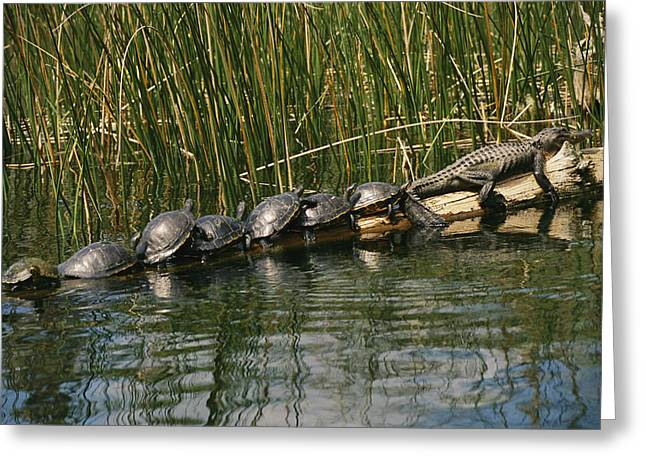 Roost Photographs Greeting Cards - A Group Of Aquatic Turtles And An Greeting Card by Raymond Gehman
