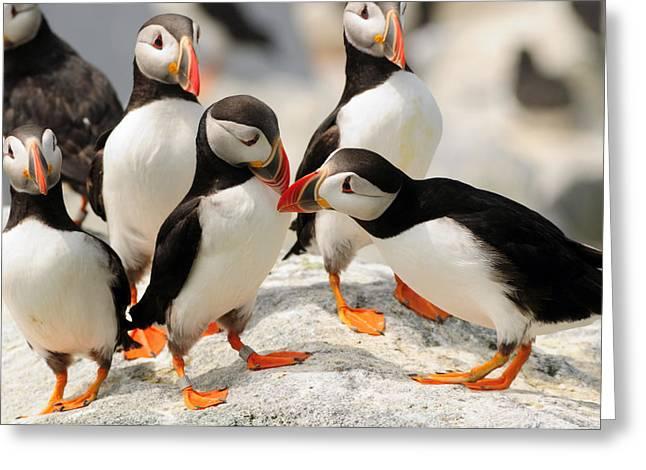 Machias Seal Island Greeting Cards - A Group Of Atlantic Puffins On A Rock Greeting Card by Darlyne A. Murawski
