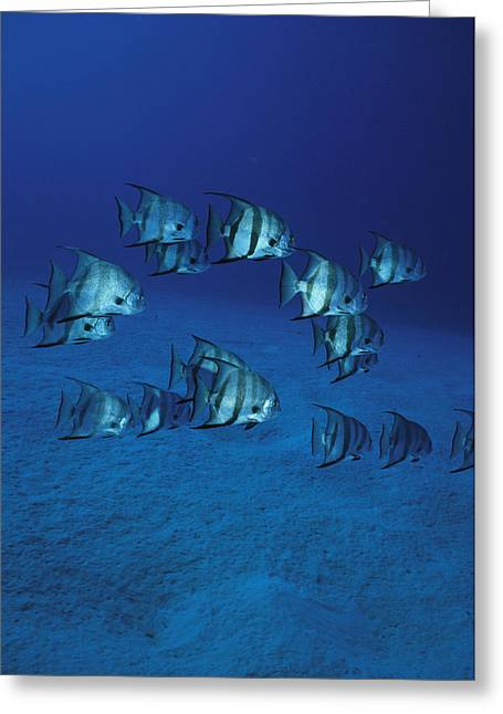 Spadefish Greeting Cards - A Group Of Atlantic Spadefish Greeting Card by Heather Perry