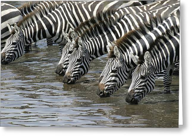 Zebra Eating Greeting Cards - A Group Of Common Zebras Drink Greeting Card by Roy Toft