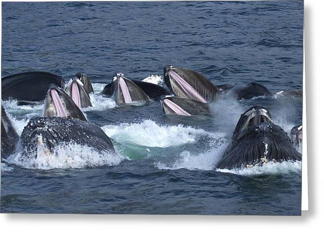 Chatham Photographs Greeting Cards - A Group Of Humpback Whales Bubble Net Greeting Card by Ralph Lee Hopkins