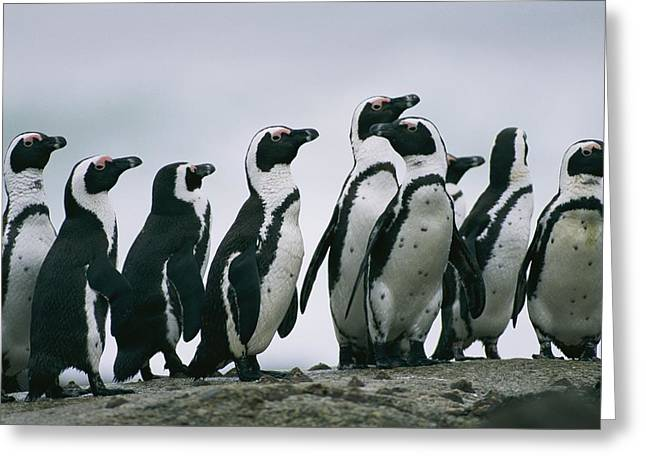 Wildlife Disasters Greeting Cards - A Group Of Jackass Penguins Spheniscus Greeting Card by Chris Johns