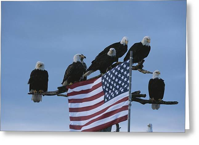 Bask Greeting Cards - A Group Of Northern American Bald Greeting Card by Norbert Rosing