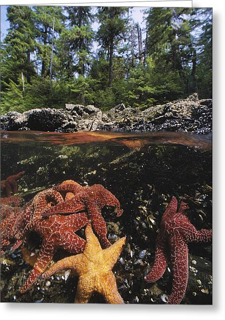 Aquatic Greeting Cards - A Group Of Ochre Sea Stars Clustered Greeting Card by Bill Curtsinger