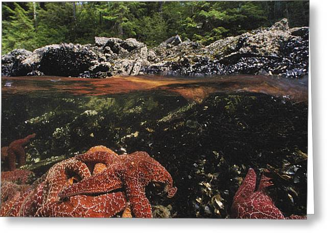 A Group Of Ochre Sea Stars Clustered Greeting Card by Bill Curtsinger
