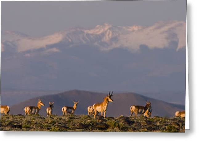 Grazing Snow Greeting Cards - A Group Of Pronghorn Antelope Stand Greeting Card by Ralph Lee Hopkins