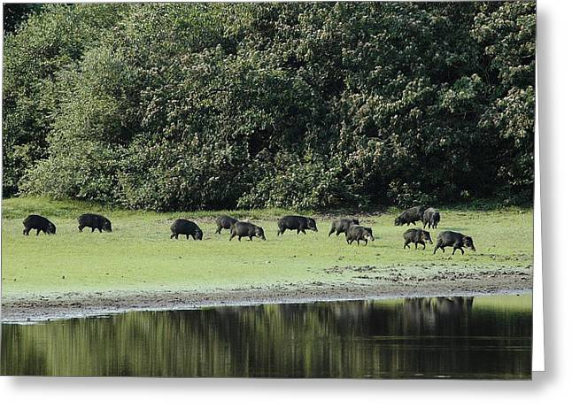 Negro Greeting Cards - A Group Of White-lipped Peccaries Greeting Card by Nicole Duplaix