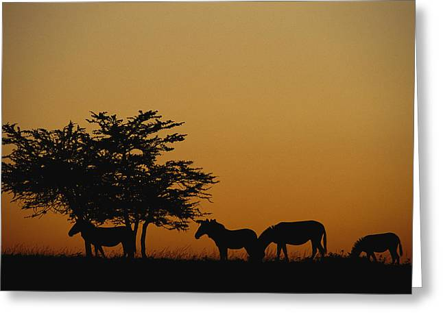 Zebra Eating Greeting Cards - A group of zebras Greeting Card by Norbert Rosing