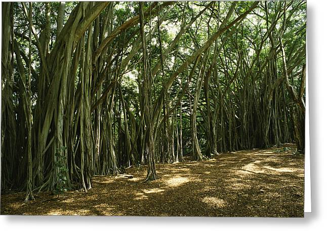 Tree Roots Greeting Cards - A Grove Of Banyan Trees Send Airborn Greeting Card by Paul Damien