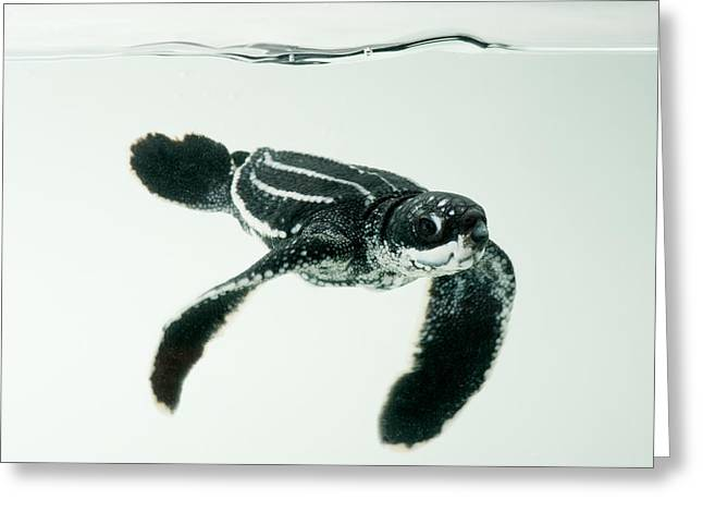 Critically Endangered Species Greeting Cards - A Half-day-old Leatherback Turtle Greeting Card by Joel Sartore