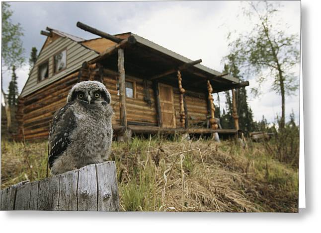 A Hawk Owl Sits On A Stump Near A Log Greeting Card by Michael S. Quinton
