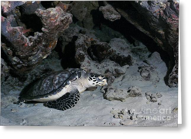 Undersea Photography Greeting Cards - A Hawksbill Sea Turtle Rests Greeting Card by Michael Wood