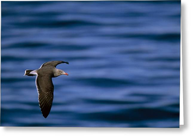 Flying Animal Greeting Cards - A Heermanns Gull In Flight Over Water Greeting Card by Tim Laman