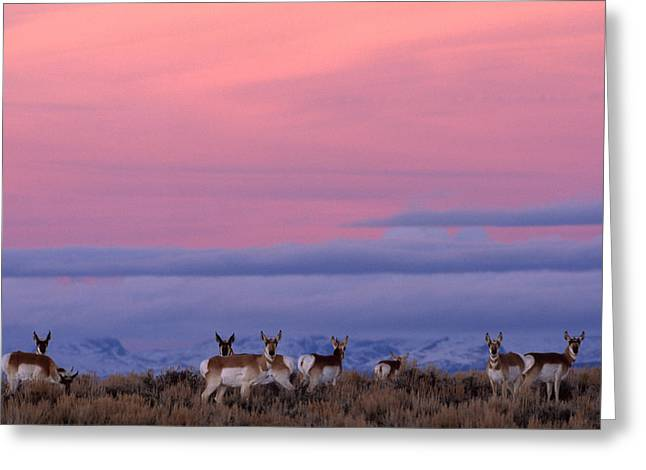 A Herd Of Pronghorns Graze On The Crest Greeting Card by Joel Sartore