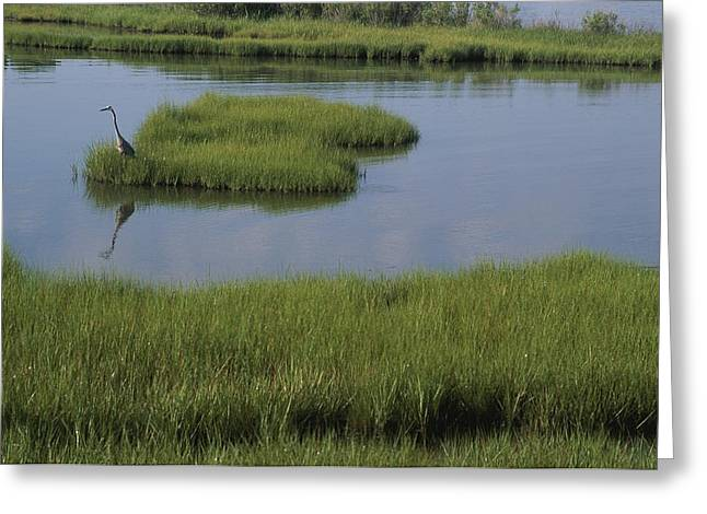 Gray Heron Greeting Cards - A heron in the marsh Greeting Card by Stacy Gold
