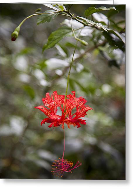 Lush Green Greeting Cards - A Hibiscus Schizopetalus Flowers Greeting Card by Taylor S. Kennedy