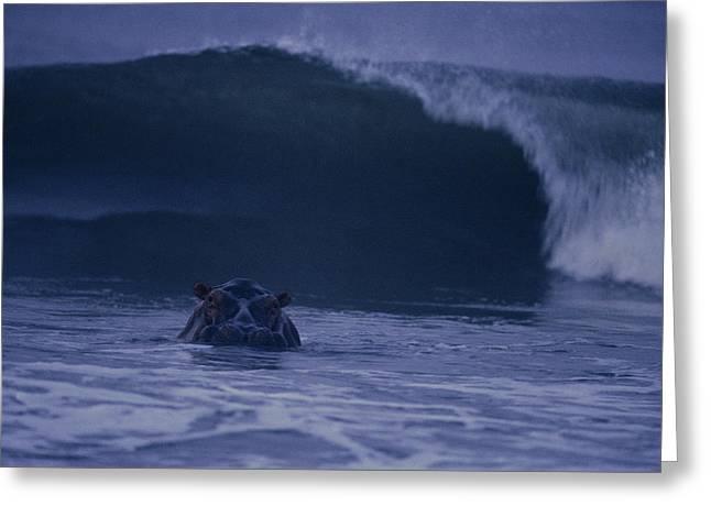 A Hippopotamus Surfs The Waves Greeting Card by Michael Nichols