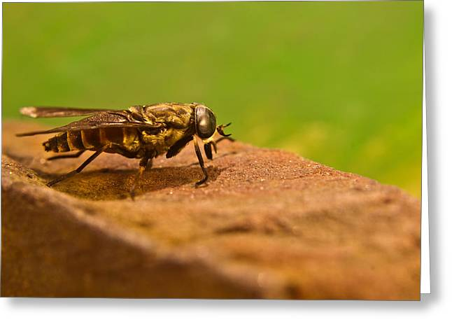 Diptera Greeting Cards - A Horse Fly Posing 1 Greeting Card by Douglas Barnett