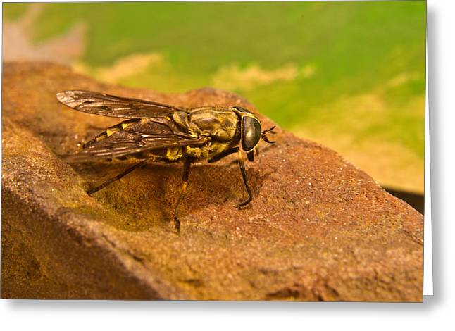 Diptera Greeting Cards - A Horse Fly Posing 3 Greeting Card by Douglas Barnett