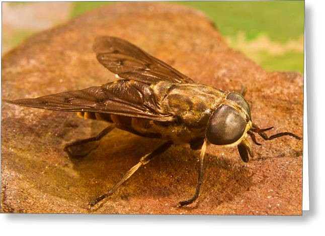 Diptera Greeting Cards - A Horse Fly Posing 4 Greeting Card by Douglas Barnett
