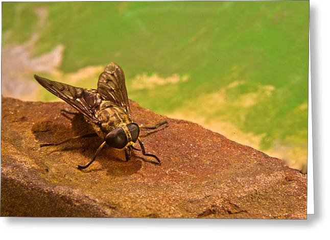 Diptera Greeting Cards - A Horse Fly Posing 5 Greeting Card by Douglas Barnett