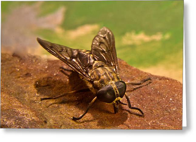 Diptera Greeting Cards - A Horse Fly Posing 6 Greeting Card by Douglas Barnett