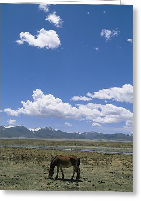 Sichuan Province Greeting Cards - A Horse Grazes Near Litang Greeting Card by David Edwards