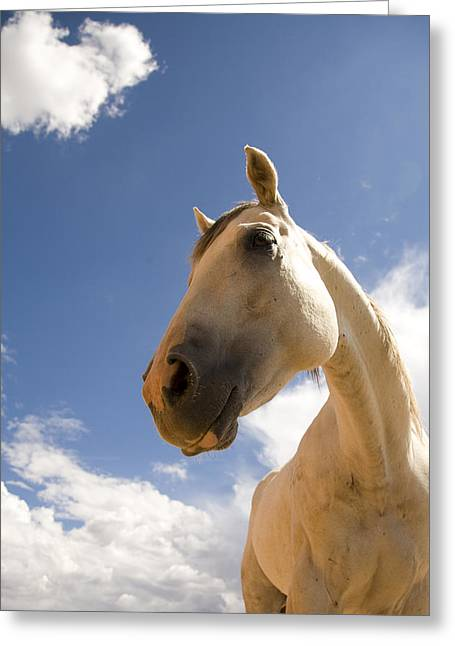 Looking Around Greeting Cards - A Horse Stands Calmly Against A Blue Greeting Card by Ralph Lee Hopkins
