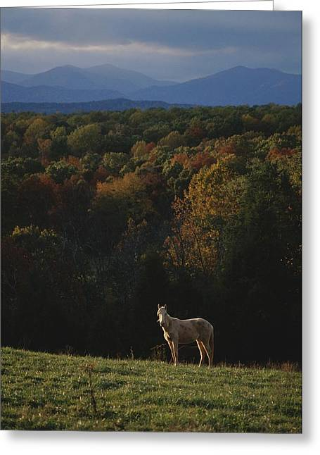 Woodland Scenes Greeting Cards - A Horse Stands On A Hill Overlooking Greeting Card by Sam Kittner